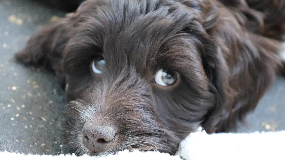 Maddie/Furber Puppy Reservation