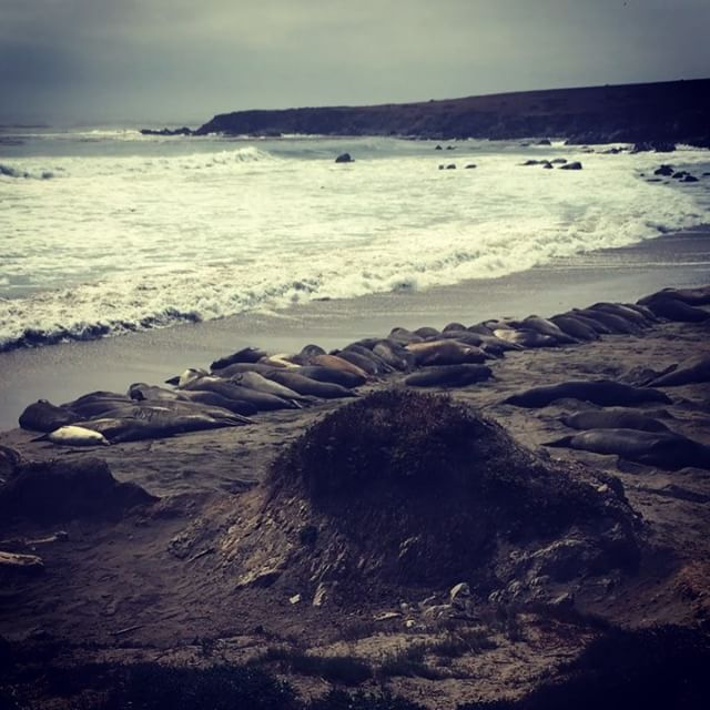 #elephantseals #chilling off the #pacificcoasthighway