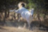 Australian Waler Horse Stallion