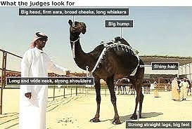 How to judge a camel beauty pageant