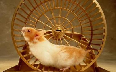 hamster on her  wheel