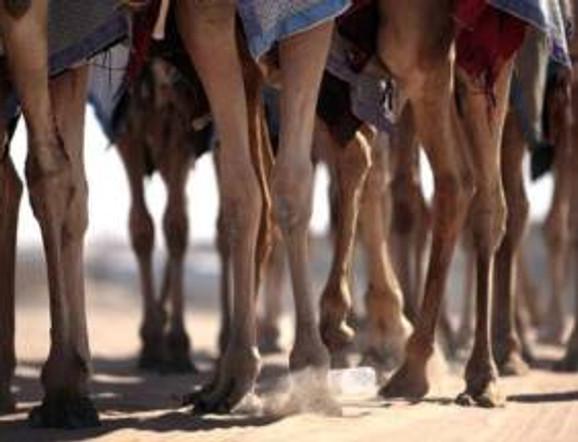 camel legs