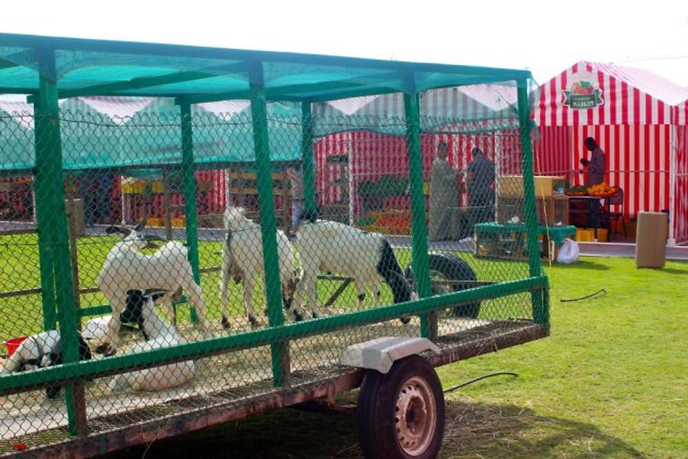 Goats for Slaughter at Farmer's Market