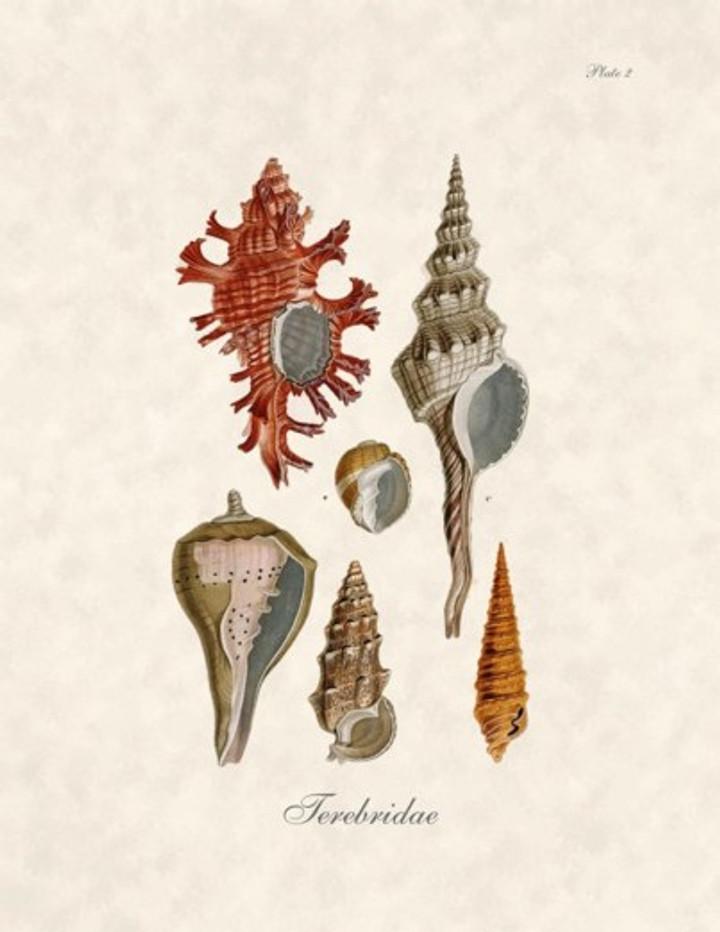 Ferebridae Shells