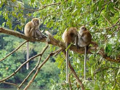 A family of long-tailed macaque monkeys in the trees on Tioman Island