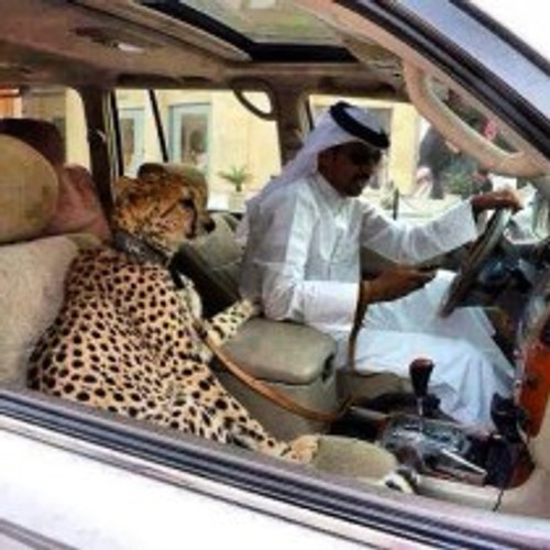 Cheetah in the car, Dubai