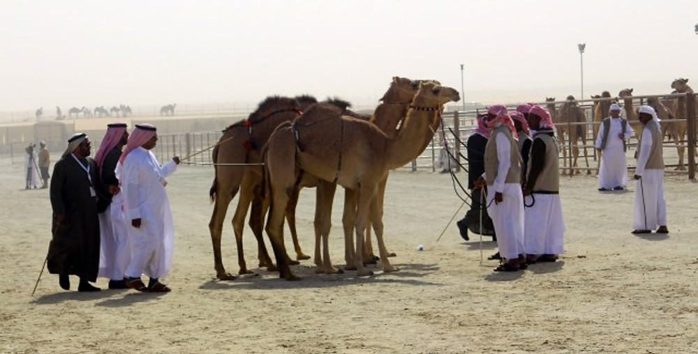 Camels being judged