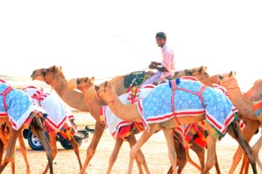 Friendly jockey_Camel Crossing_One Arabian Night