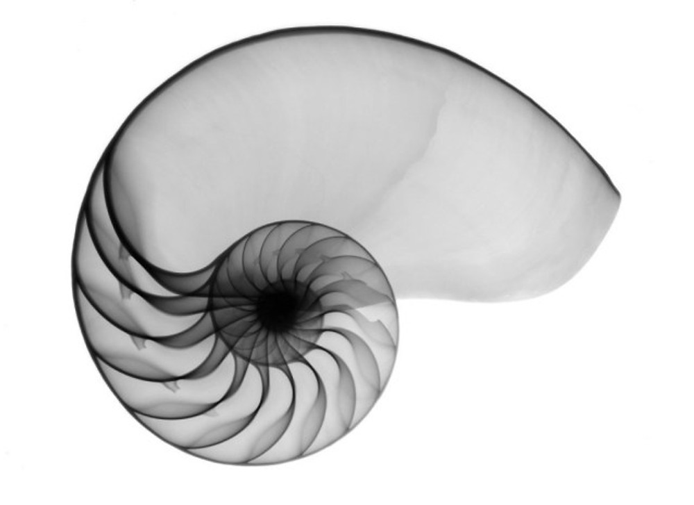 Nautilus Shell X-ray. Click on photo or Click on this text.