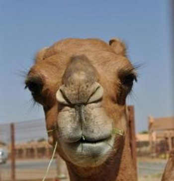 Camel Beauty Pageant Contender