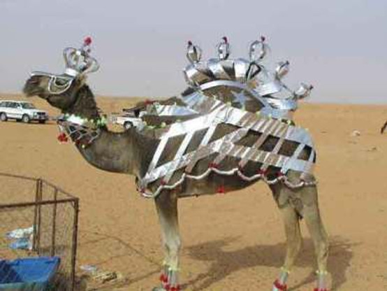 The Queen of all Camels