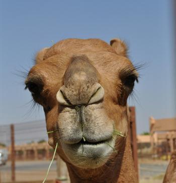 Beauty Camel