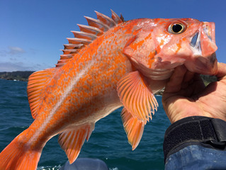 Great Groups of clients on Thursday, Friday and Saturday... Made for some excellent Rock Fishing up