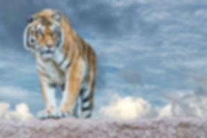 Determined tiger