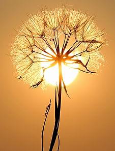 Pissentlit devant un soleil couchant.jpg