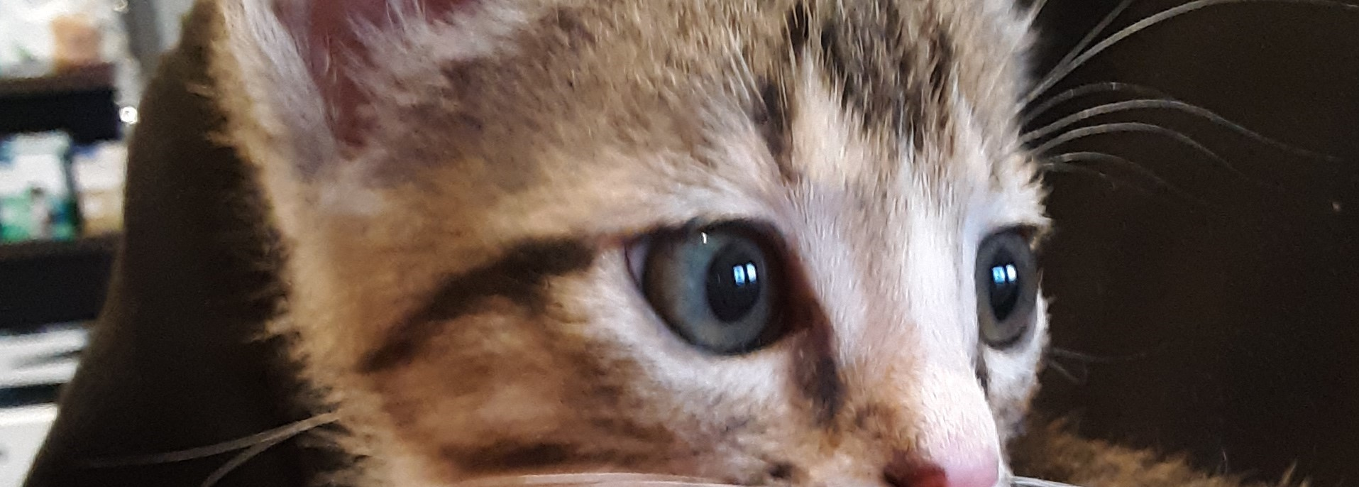 HP image_tabby kitten