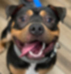 Smiling Rottie mix_Chapo.jpeg