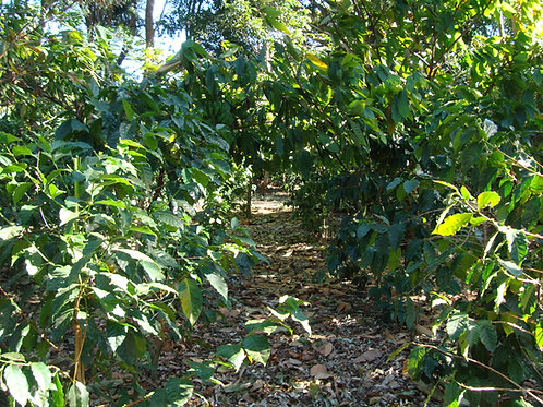 Guatemala Decaf - 99.9% Caffeine Free (Medium Roast)