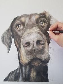 Dobermand Drawing by Rachel Baker Artist