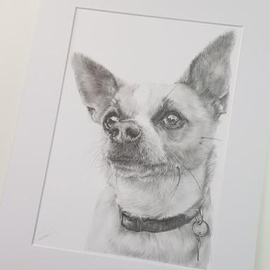 Chihuahua Drawing Rachel Baker Artist