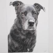 Dog Drawing Rachel Baker Artist