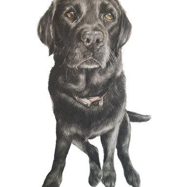 Black Labrador drawing Rachel Baker Artist