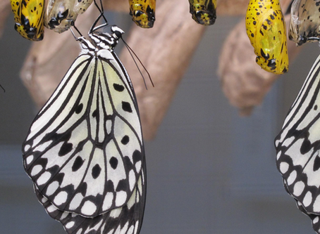 Butterflies - 3 Lessons to be learnt from the cocoon