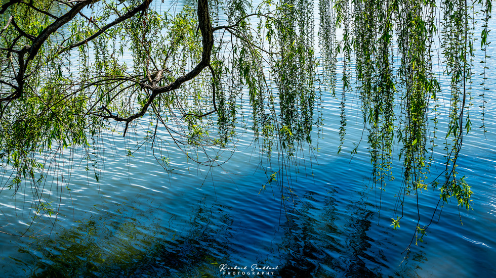 Weeping willow reflection