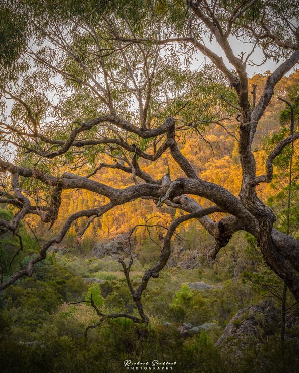 Molonglo Tree