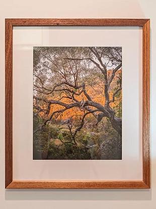 Molonglo Tree.JPG