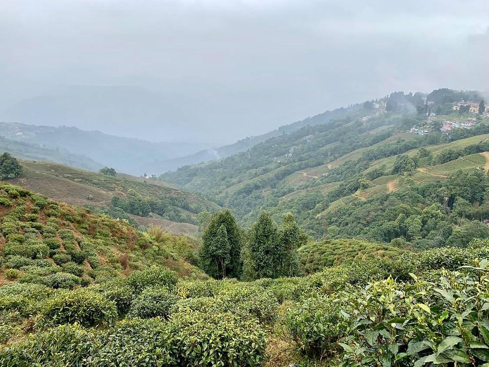 The Himilayan tea gardens, India