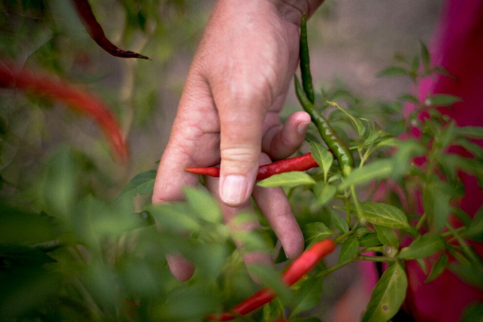 """these super hot """"lady finger"""" chilies are key to the Fijian flavor"""