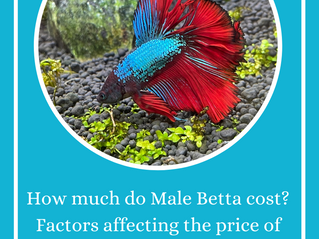 How much are Betta Fish? How much do Male Fighting Fish cost? A breakdown of costs and varieties.