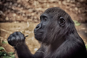 gorilla-zoo-animal-behavior.jpg