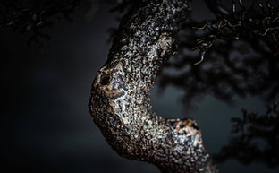 The Omiya Pine Trunk Detail
