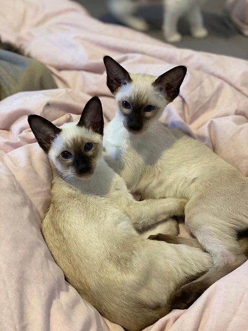Siamese Kitten Deposit