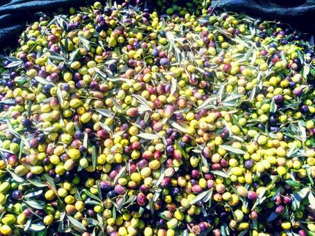 Как в Аланье убирают оливки и что делают с урожаем?