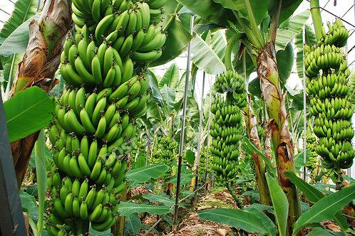 12 500 м2 прибыльных банановых плантаций в пригороде Аланьи