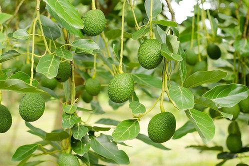 Плантация авокадо  (17000 м2) с системой орошения и видеонаблюдением
