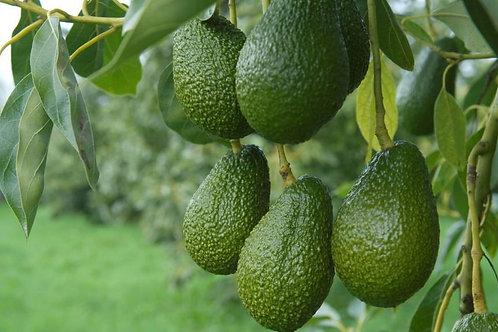Крытые банановые плантации и сад сортовых авокадо. Новая инфраструктура