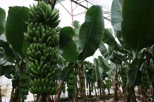 Крытые банановые плантации по супер-цене! 3 гектара