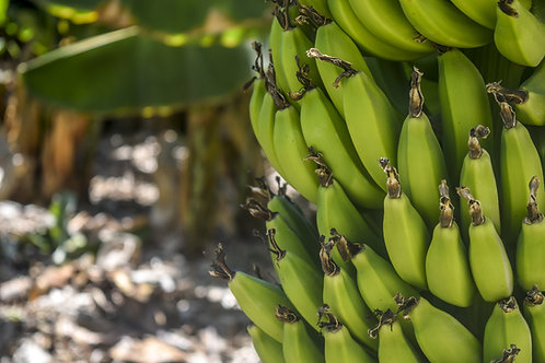 Плантация бананов и авокадо, земля под застройку (arsa)