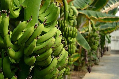 21500 м2 крытых банановых плантаций в Каргыджаке