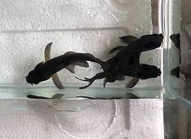 黑龍鯉.jpg