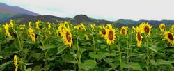wailua sunflowers