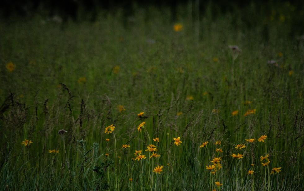 dark daisy