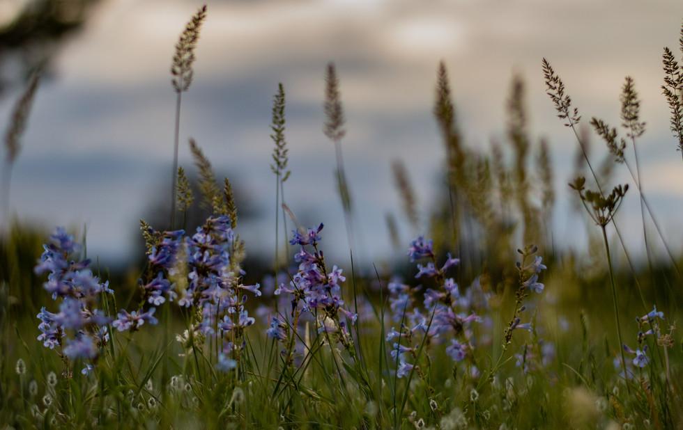 wildflowers & sunsets