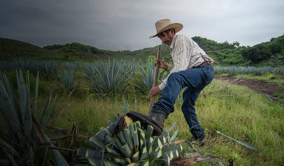 Agave farmer working in agave field in Amatitán Jalisco, Mexico