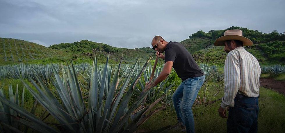CasaPuebla Tequila founder Maximiliano cutting agave plant.