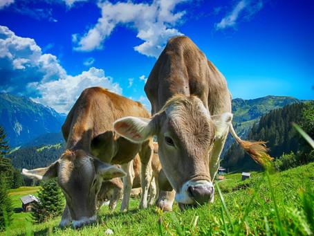 Z embriotransferjem do hitrejšega napredka v prireji mleka in govedoreji
